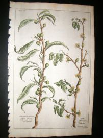 Langley 1729 Folio Hand Col Botanical Print. Peach & Apricot Trees, Fruit 11